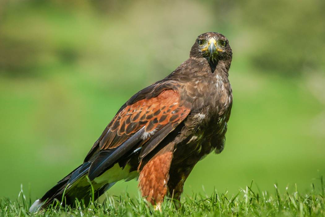 Buzzard on the ground